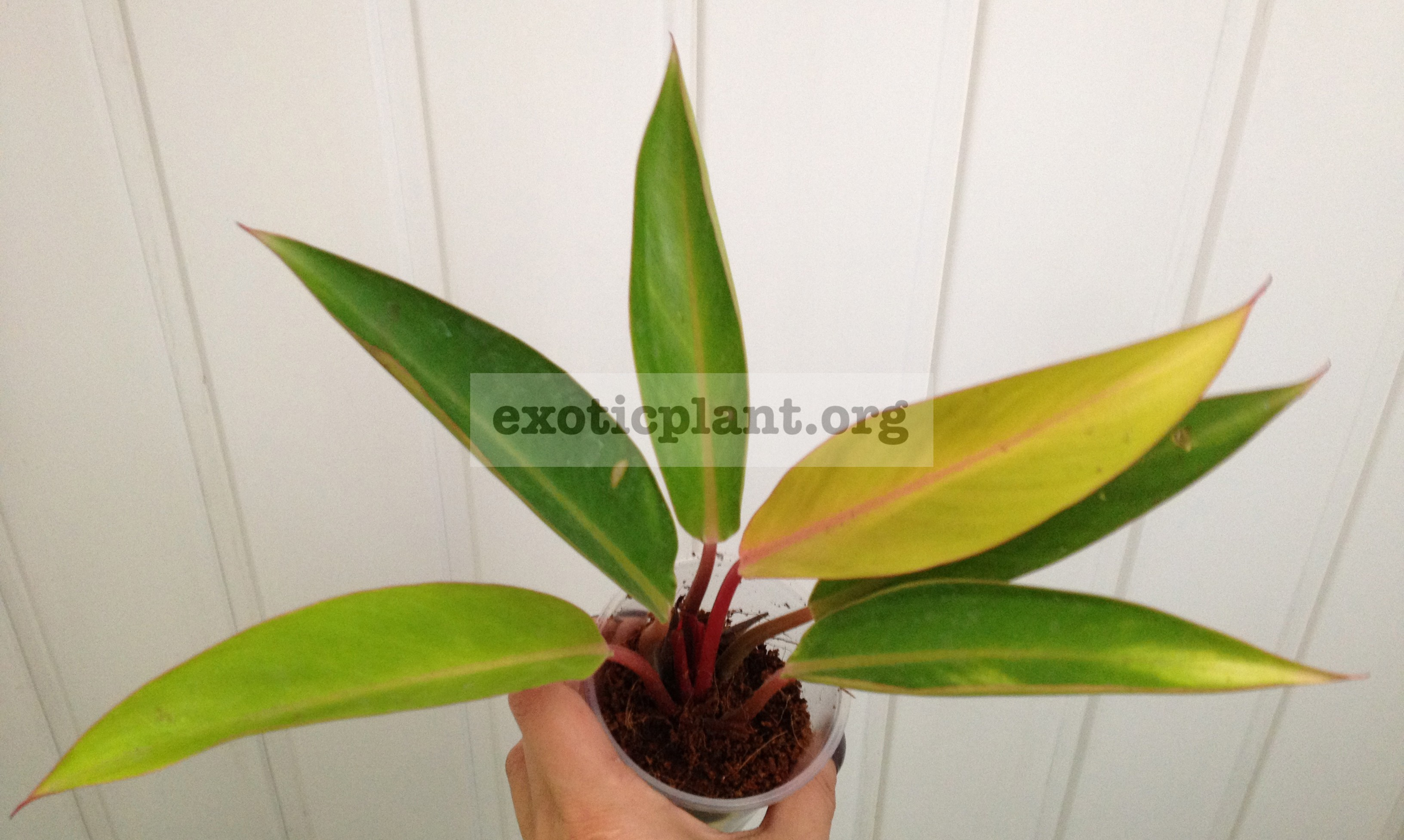 philodendron Bird Fever variegated 44