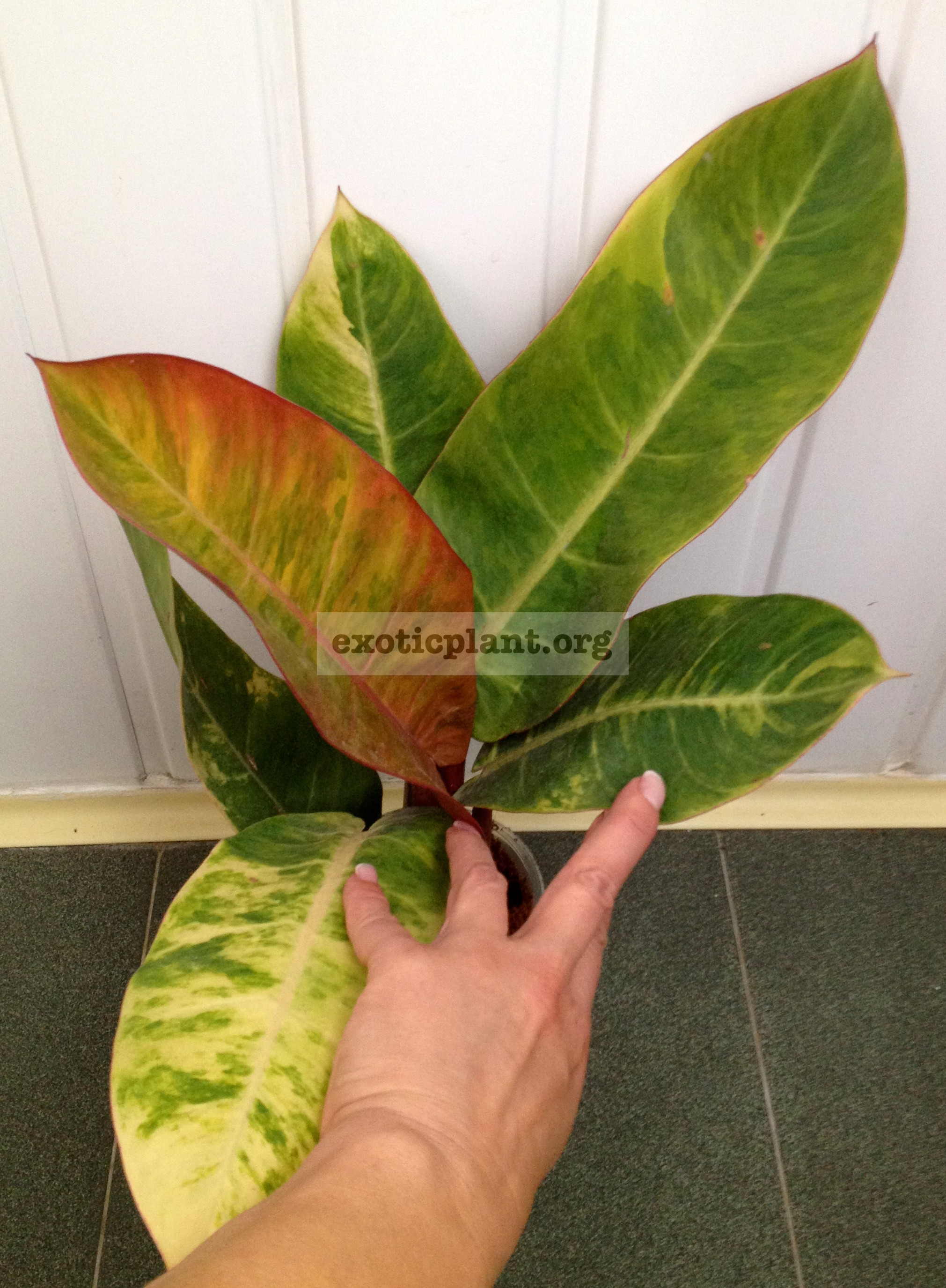 philodendron Forest Fire 40