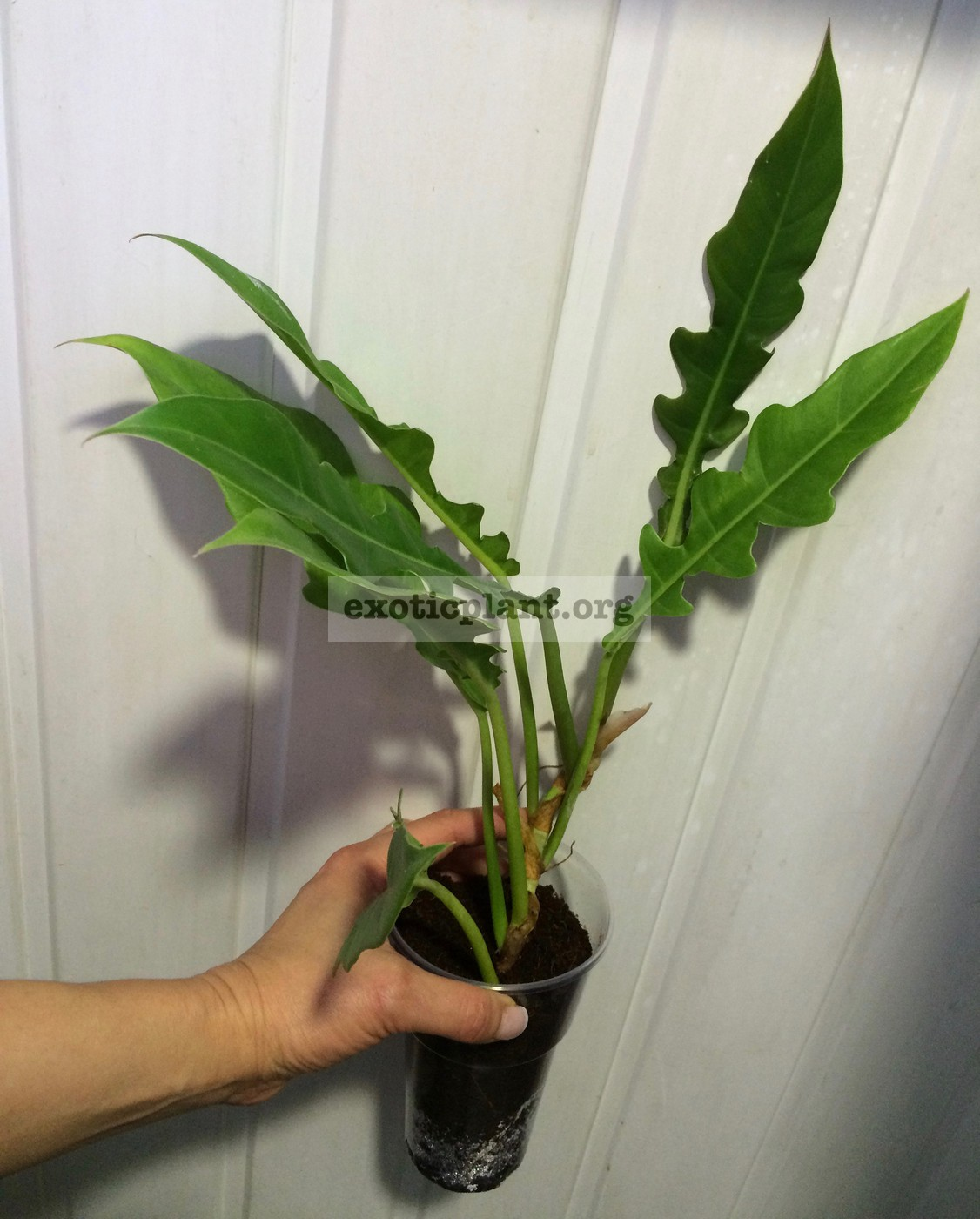 philodendron Jungle Boogie 20
