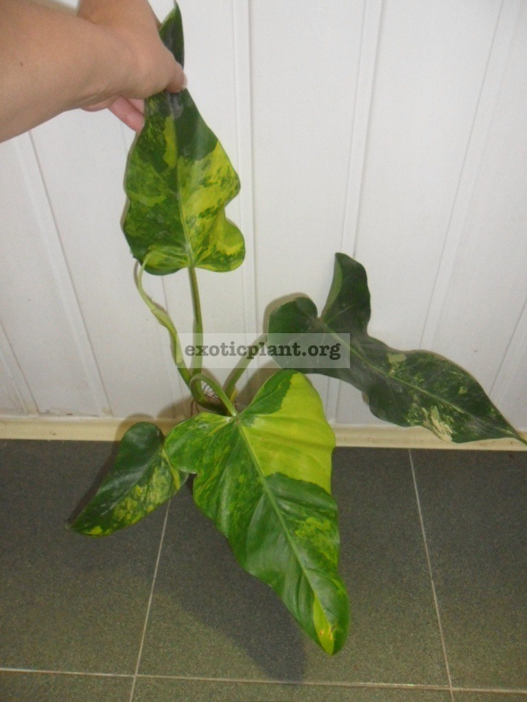 philodendron domesticum variegated 55