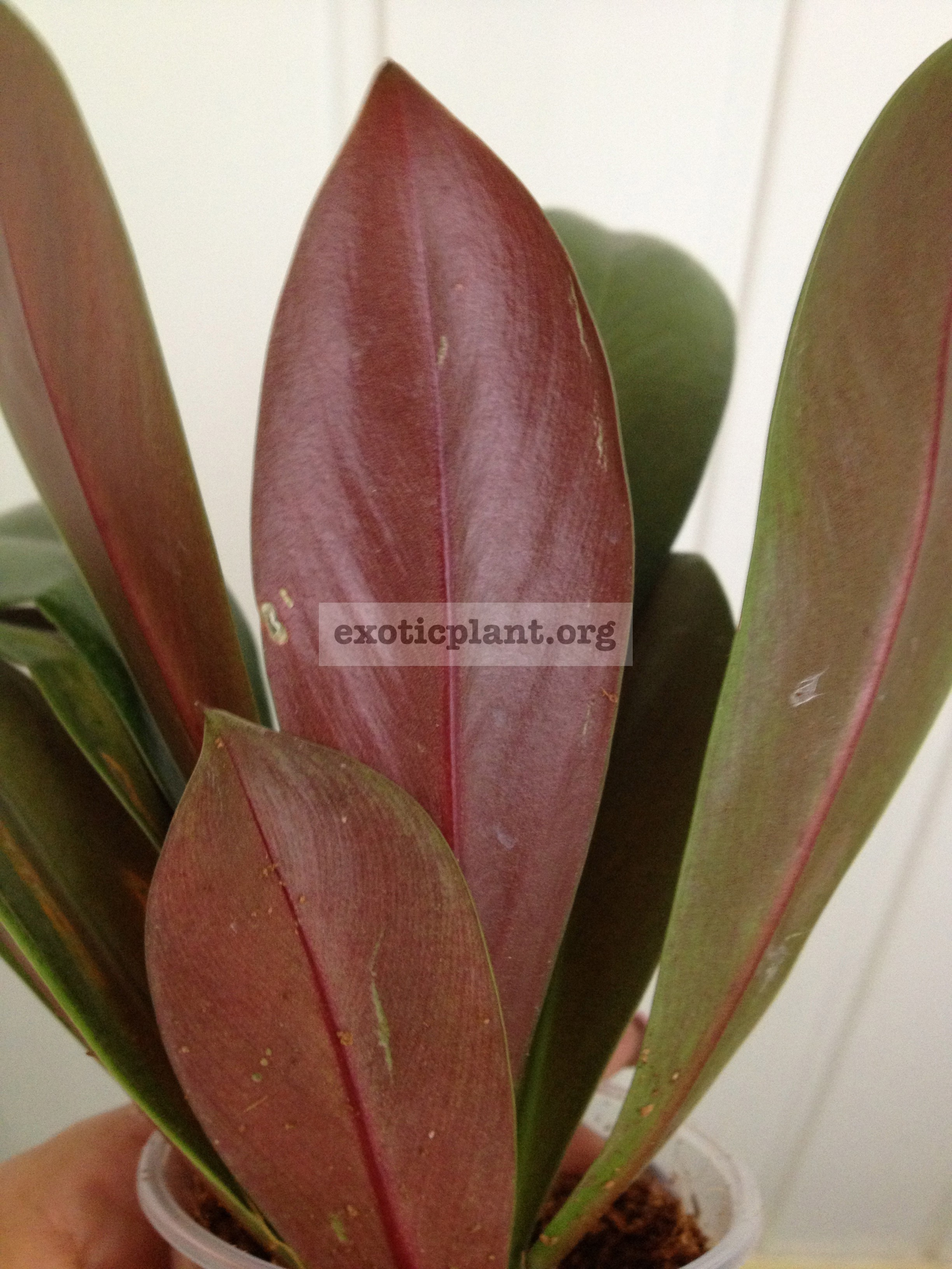 Philodendron decurrens 12-30