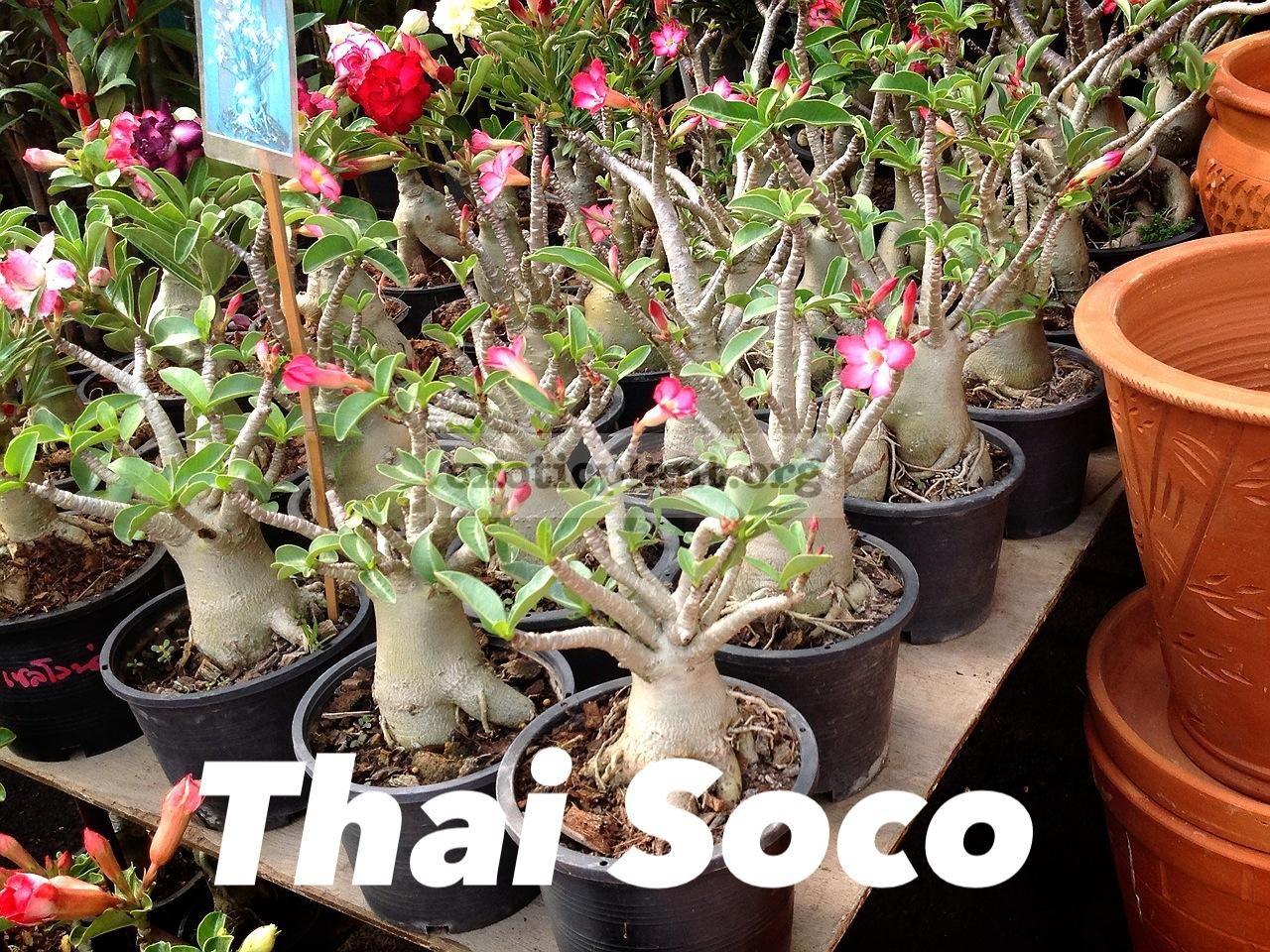 adenium thai-socotranum 30