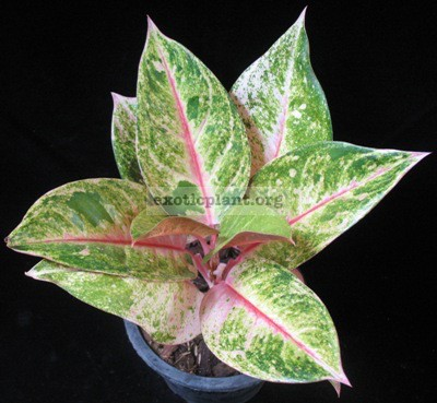 Aglaonema Bangkok Delight 20