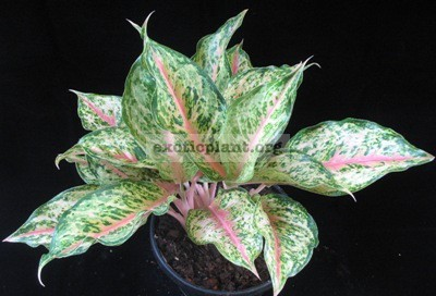 Aglaonema Chat Petch 16