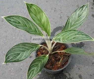 Aglaonema Cory (F1) 20