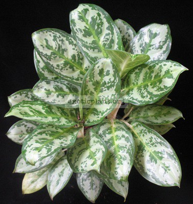 Aglaonema Dawn s Delight 20