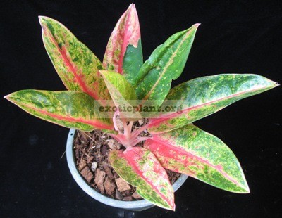 Aglaonema Golden Sand 20