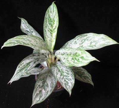 Aglaonema Jiraporn Starlight 20