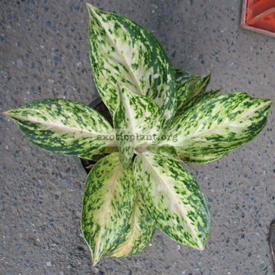 Aglaonema Malai Petch 22