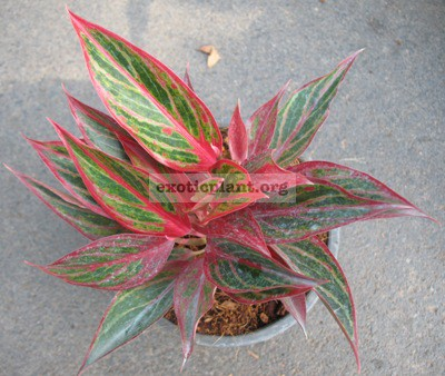 Aglaonema Mungkorn Yok (narrow leaf) 12