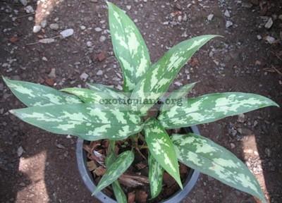 Aglaonema Nok Kaew Puek (green petiole) 16