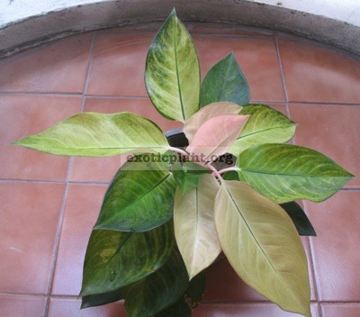 Aglaonema Pa Ram Ruay White(mutation) 20