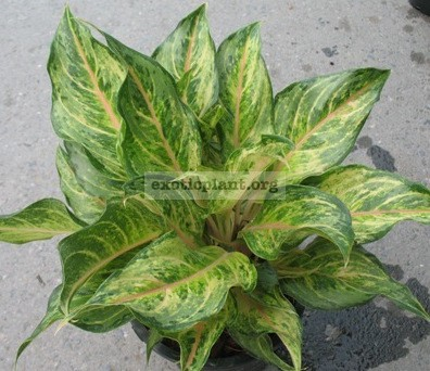 Aglaonema Pearl of Siam (green form)14