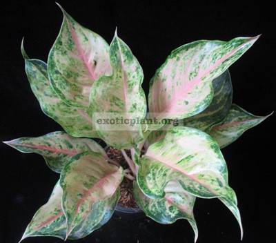Aglaonema Pearl of Siam (medium size) 30