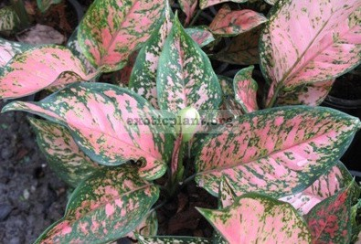 Aglaonema Petch Sam Pran 12