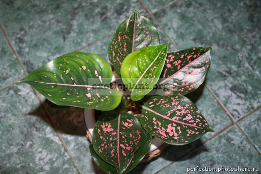 Aglaonema Pink Indonesia 12