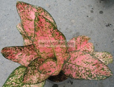 Aglaonema Pink Ruby 13