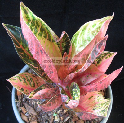 Aglaonema Pride of Sumatra (mutation) 30