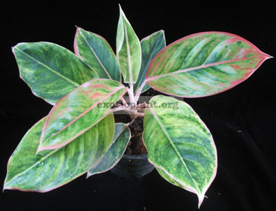 Aglaonema Rub Thong 17
