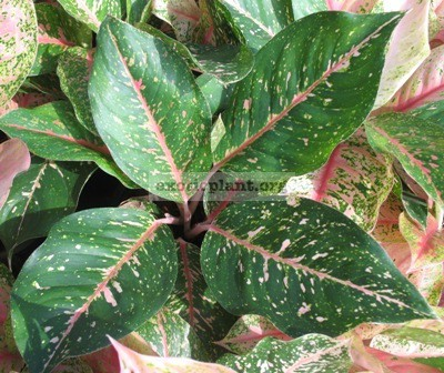 Aglaonema Serm Sub(green form) 18