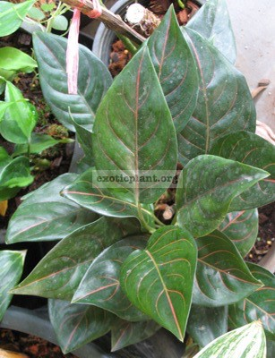 Aglaonema Siam Ruby (rotundum x simplex)17