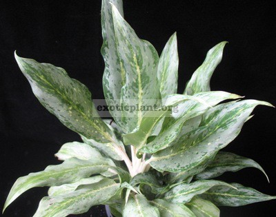 Aglaonema Silver Torch 20