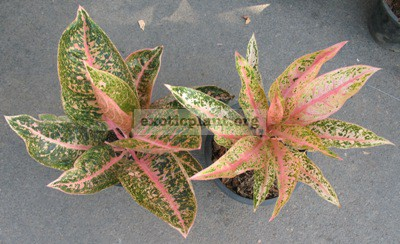Aglaonema Sinta(narrow leaf)(справа) 20