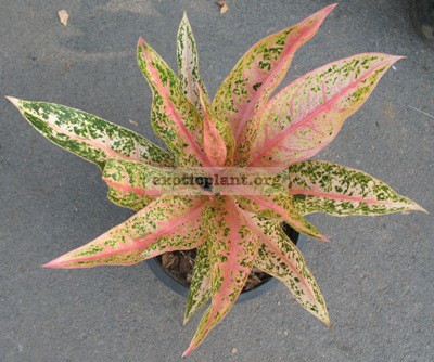 Aglaonema Sinta (narrow leaf) 20
