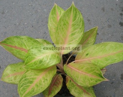 Aglaonema Sri Yod Thong 13