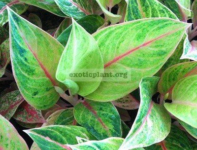 Aglaonema Sweet and Sour 20