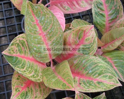 Aglaonema Thong Pun Chang 13