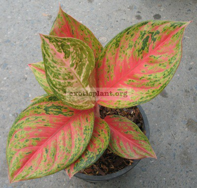 Aglaonema Treasure of Siam 13