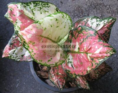 Aglaonema Unyamanee Pink Variegated (L) 55