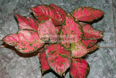 Aglaonema Unyamanee Red 20