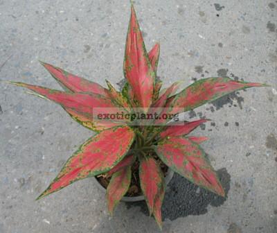Aglaonema Unyamanee (mutation) 13
