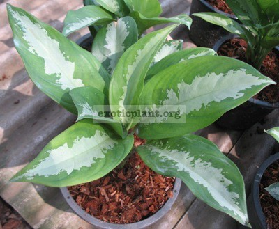 Aglaonema Waen Petch 20