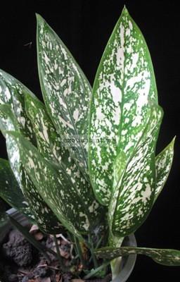 Aglaonema brevispathum 25