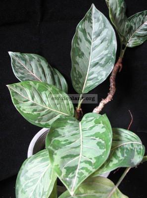 Aglaonema hybrid (T01)= modestum  Chiang Mai  x rotundum 20