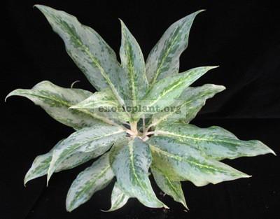 Aglaonema hybrid (T03) unknow parentage 35