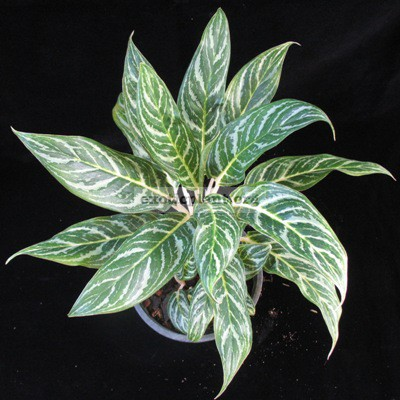Aglaonema hybrid (T04) unknow parentage 30