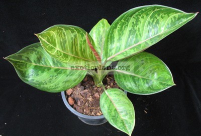 Aglaonema hybrid (T06)25