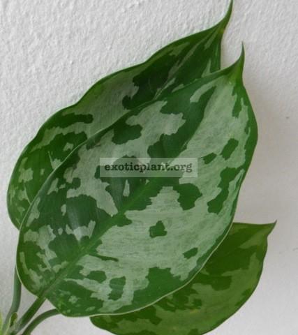 Aglaonema pictum Bicolor 20