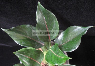 Aglaonema rotundum x simplex (natural hybrid) 35