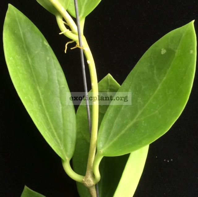 202 Hoya parasitica x pachyclada 18
