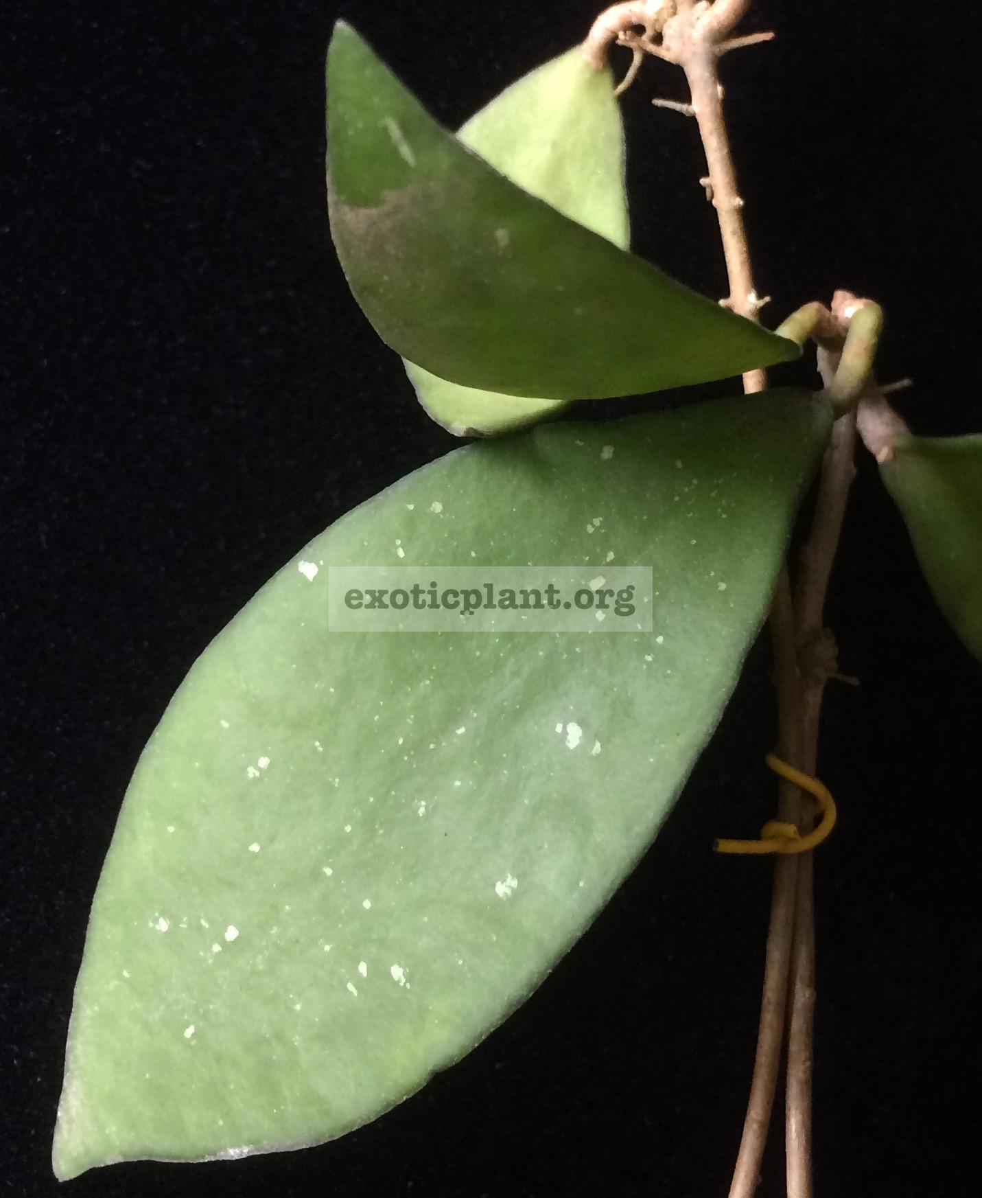 692 Hoya sp.692 (aff. micrantha) wax leaf Yala 38