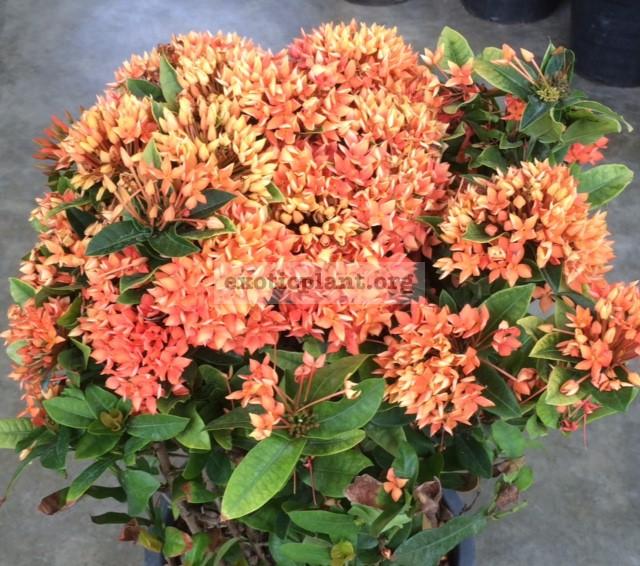Ixora Orange Storm 25
