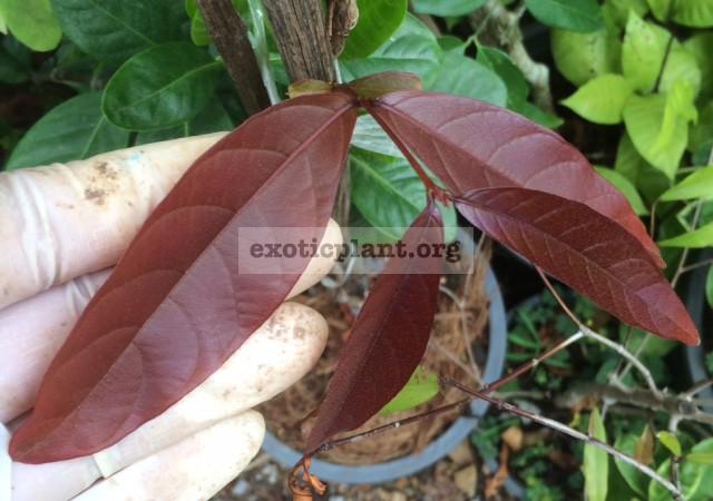 Lagerstroemia cuspidata (Red leaf) 37