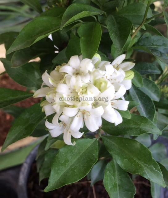 Murraya paniculata  Snowball  25