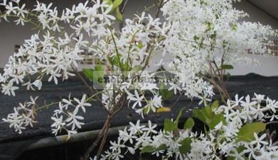 Petrea volubilis (white flower)(TF) 30