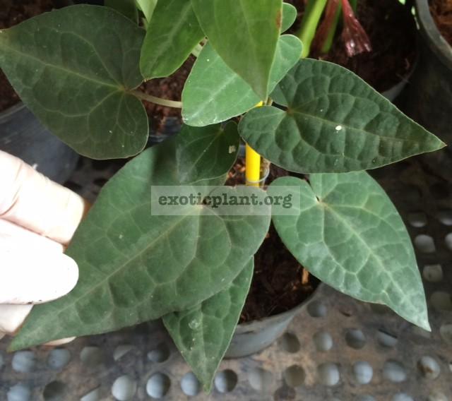 Piper ribesoides (short leaf) 20